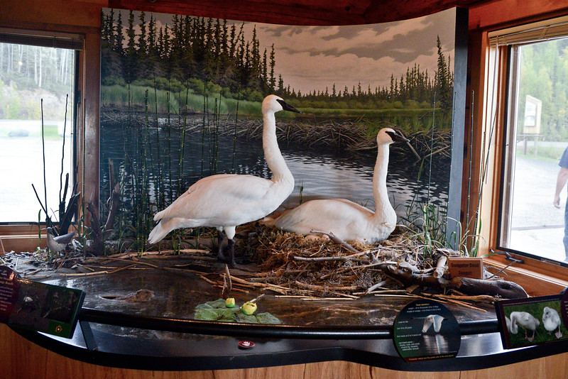 Swan,Trumpeter 2017.9.4#798. A pair of Trumpeters at a nest in the Visiter Center for the Tetlin Nat. Wildlife Refuge, Tetlin Alaska.