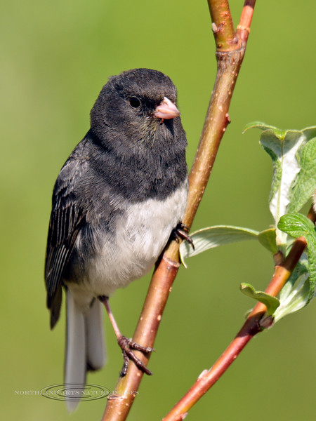 Junco, Dark-eyed 2014.6.6#101. Near Chulitna Alaska.
