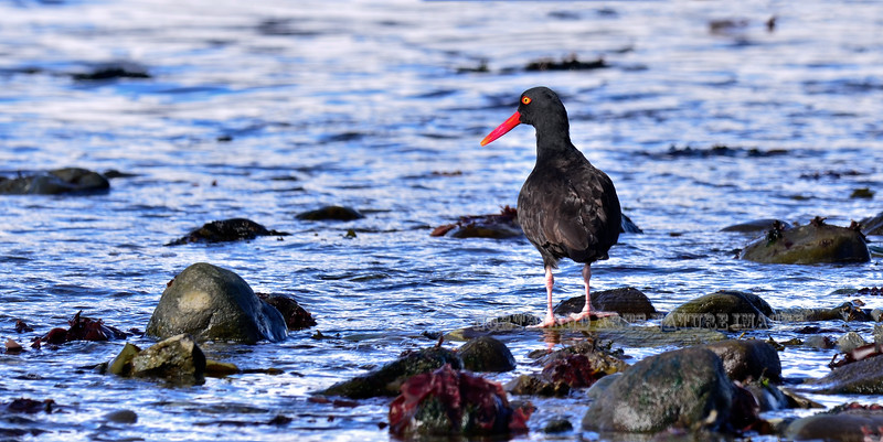 Oystercatcher, Black 2013.4.2#303. Foraging for Limpets. Seward Alaska.