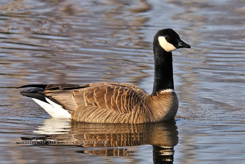 """Goose, Canada 2009.4.21#059. """"Cackling"""" subspecies, maybe minima. Spenard Crossing, Anchorage Alaska."""