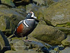 Harlequin Duck 2014.4.30#607. Seward Alaska.