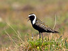 Plover, American Golden 2014.6.23#1413. A male in dark breeding color on summer tundra. Mile 13, Denali Highway Alaska.