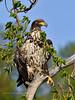 Eagle, Bald 2013.5.29#128. Potter Marsh, South Central Alaska.