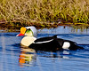 Eider, King 2009.6.10#009. Coastal plain of the North Slope Alaska.
