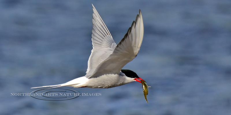 Tern, Arctic 2013.6.4#081. Has just captured a plump Stickleback for dinner. Potter Marsh, Anchorage Alaska.