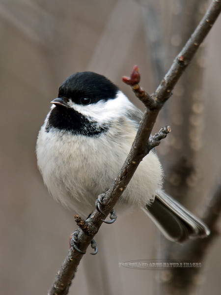 Chickadee, Black-capped 2015.4.14#086. Anchorage Alaska.