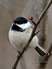 Chickadee, Black-capped. South Central, Alaska. #414.086. 3x4 ratio format.