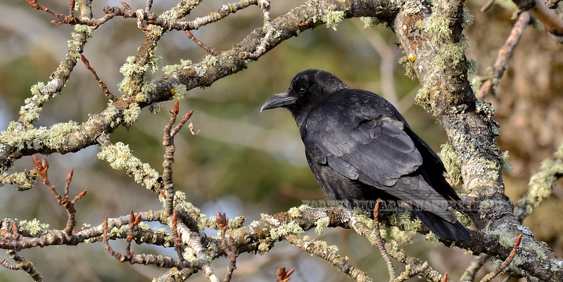 Crow, Northwest 2013.5.6#137. Anchor river, Kenai Peninsula Alaska.