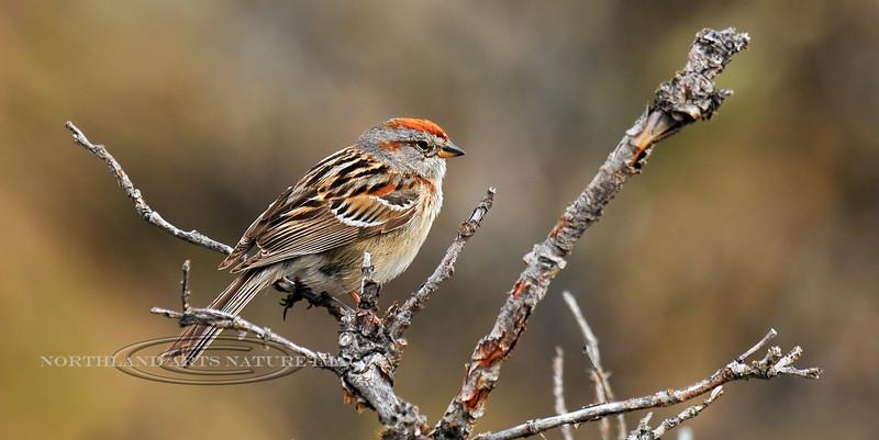 Sparrow, American Tree 2009.6.10#083. Atigun Pass, Brooks Range Alaska.