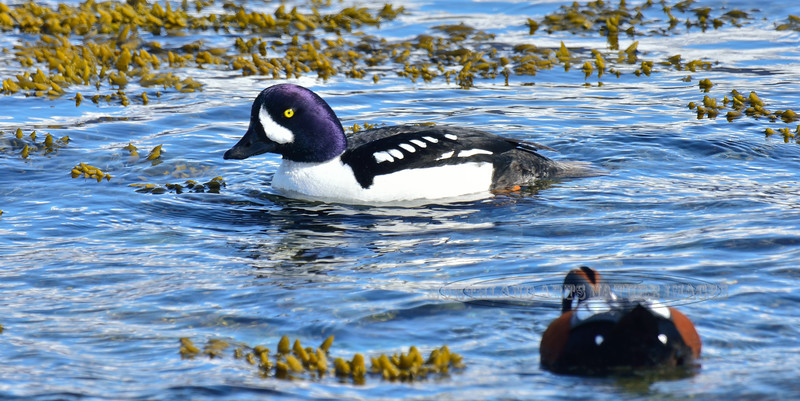 Goldeneye, Barrow's 2014.4.10#813. A handsome male foraging with a Harlequin duck for invertebrates in Bladder Wrack. Seward Alaska.