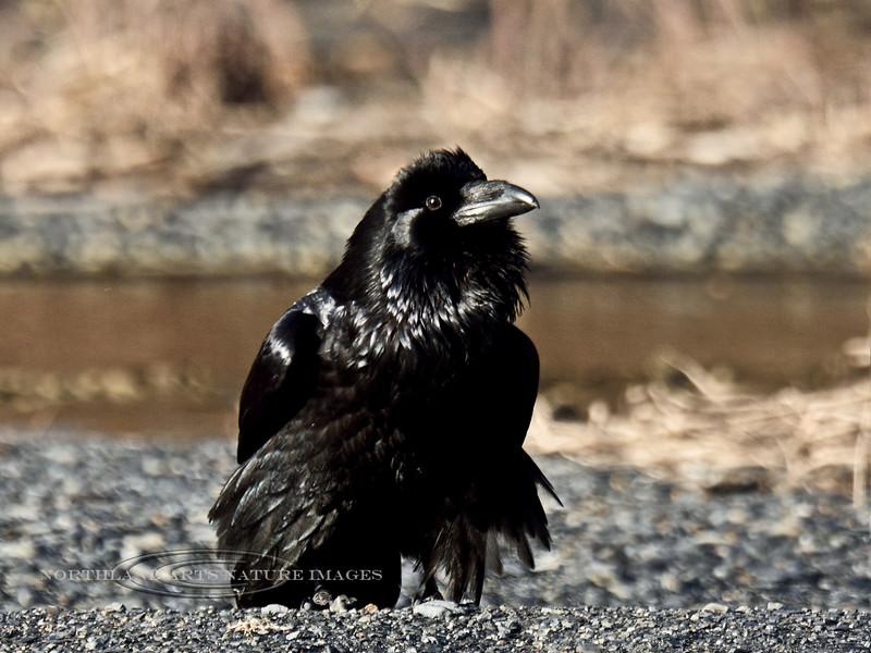 Raven, Common 2015.3.9#668. Seward Alaska.