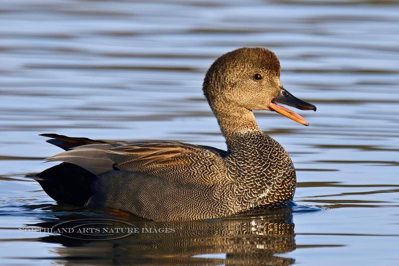 Gadwall Duck 2014.4.18#028. A handsome male in breeding plumage. Spenard Crossing, Anchorage Alaska.