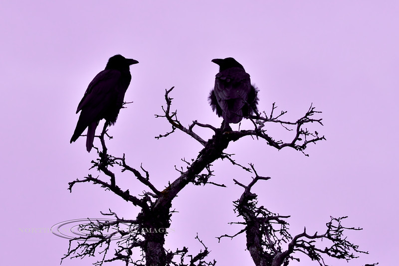 Ravens 2014.9.23#148. Silhouetted and highlighted by the subtle reflection from alpenglow the final minutes of daylight. Mile eleven, Denali Park Alaska.