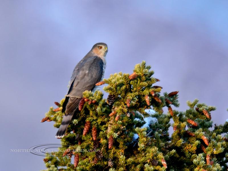 Hawk, Sharp-shinned 2014.9.22#032. Mile ten, Denali Park Alaska.
