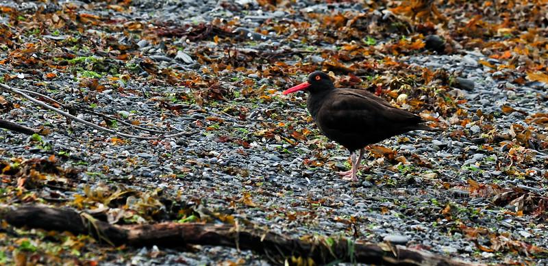 Oystercatcher, Black 2010.7.4#174. Foraging in the strandline from the last tide. Valdez Alaska.