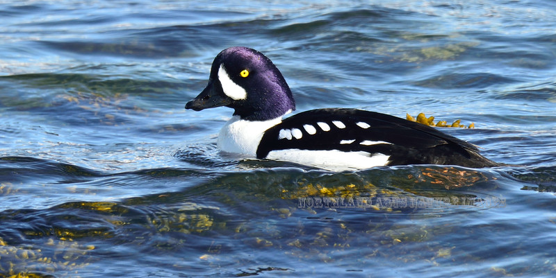 Goldeneye, Barrow's 2014.4.10#821. A handsome drake foraging for invertebrates in Bladderwrack. Seward Alaska.