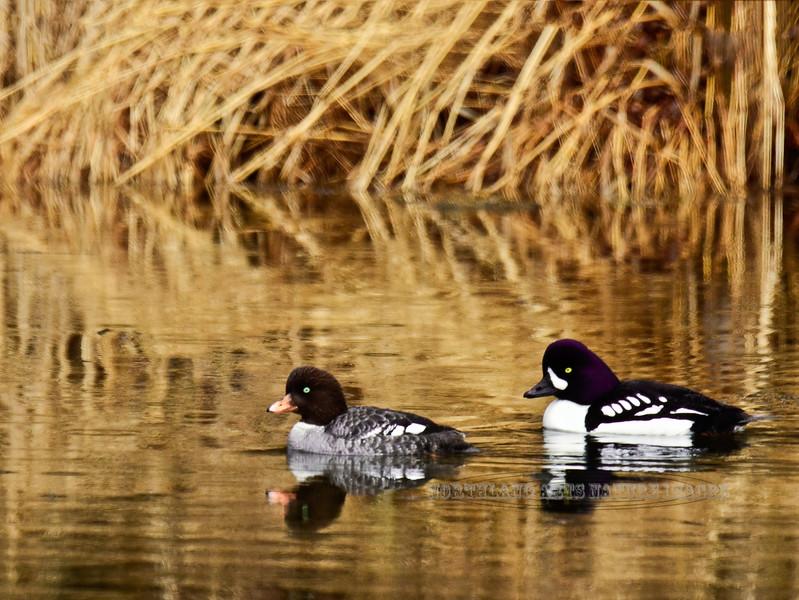 Goldeneye,Barrow's 2013.5.13#224. A breeding pair of have claimed this small pond as thier territory. Tern Lake, Kenai Peninsula Alaska.