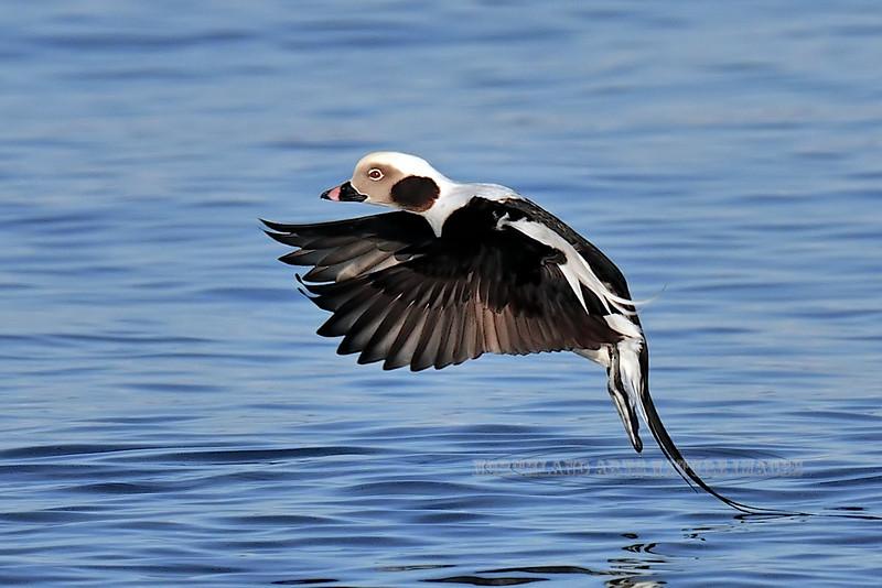 Oldsquaw 2009.3.7#372. Now called long-tailed duck. Kachemak Bay, Homer Alaska.