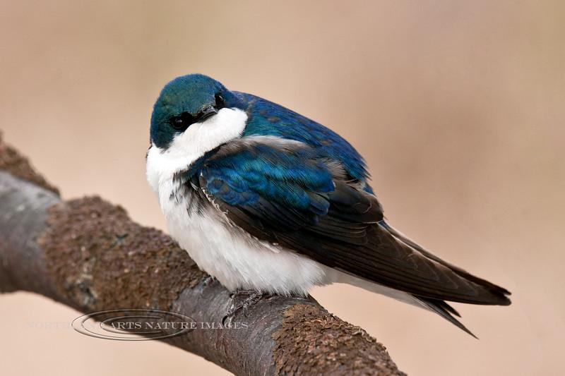 Swallow, Tree 2014.5.17#222. Potter Marsh, Anchorage Alaska.
