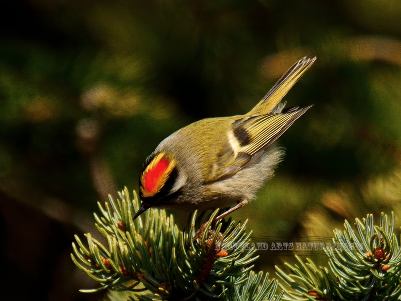 Kinglet, Golden-crowned 2015.4.13#130. A brightly colored spring male displaying. Upper Abbott road, Anchorage hillside Alaska.