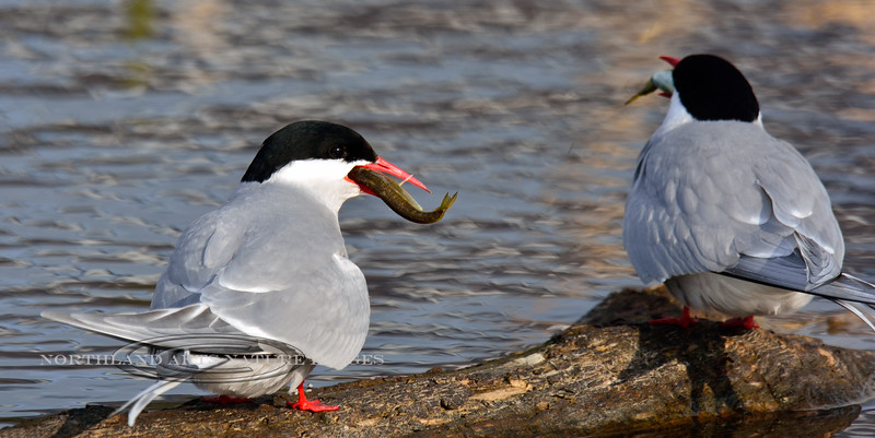 Tern, Arctic 2014.5.7#052. With freshly captured Sticklebacks. Potter Marsh, Anchorage Alaska.