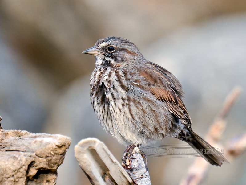 Sparrow, Kenai Song 2014.5.14#680. Staking out it's territory. Homer Spit, Alaska.