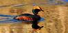 Grebe, Horned 2009.5.13#016. Potter Marsh, Anchorage Alaska.