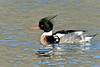 Merganser, Red-breasted 2014.3.20#276. In Spring plumage. Homer Spit, Kachemak Bay Alaska.