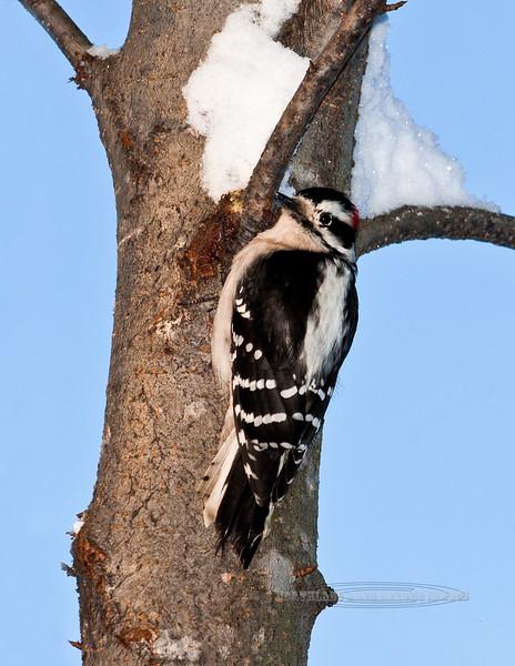 Woodpecker, Downey 2011.11.26#233. Anchorage Alaska.