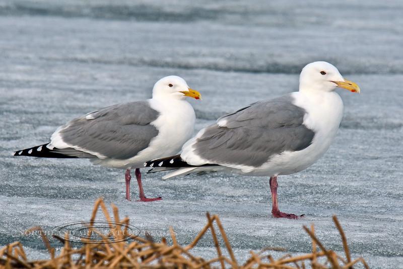 Gull, Herring 2014.4.18#094. Or Herring/Glaucous winged hybrids. Potter Marsh, Anchorage Alaska.