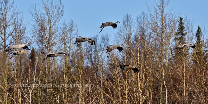 Crane, Sandhill 2013.4.25#122. Palmer area, South Central Alaska.