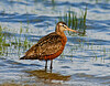 Godwit, Hudsonian 2005.5.25#051. A male waiting out the flood of a 30 foot tide in Cook Inlet near Anchorage Alaska.
