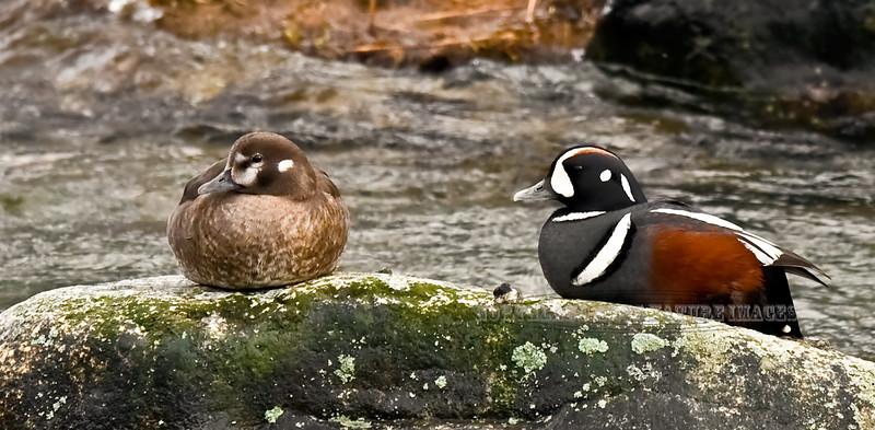 Harlequin Duck 2009.5.21#023. Upper Gulkana River, Alaska.
