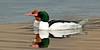 Merganser, Common 2014.4.22#688. A pair of birds in breeding plumage. Tern Lake, Kenai Peninsula Alaska.