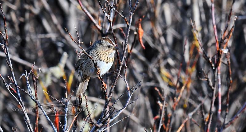 Sparrow, Lincoln's 2010.5.22#122. A less common Sparrow in alaska. Near Paxson Lake, Alaska.