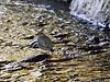 Dipper, American 2014.4.10#056. In a typical hiding place, inside a culvert. Daves Creek near Tern Lake, Alaska.