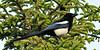 Magpie, Black-billed 2011.6.24#030. Spenard Crossing, Anchorage Alaska.