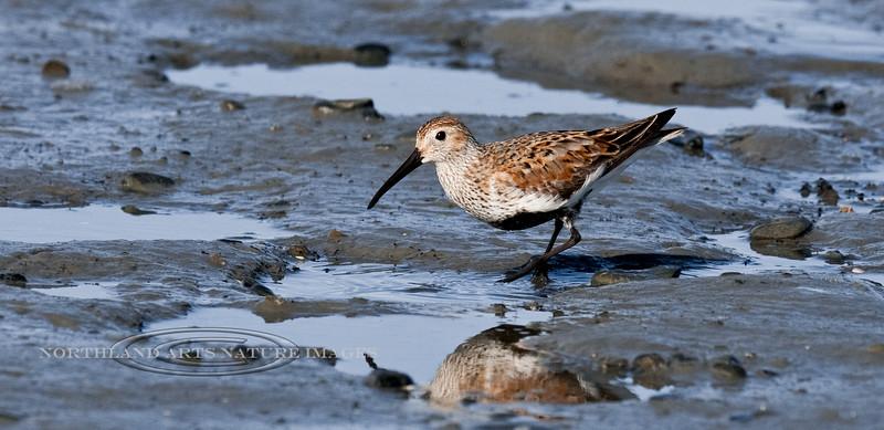 Dunlin 2011.5.10#218. In breeding color probing in Mud Bay, Homer Alaska.