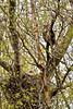 Owl, Great Horned 2015.5.9#017. Kincaid Park, Anchorage Alaska.