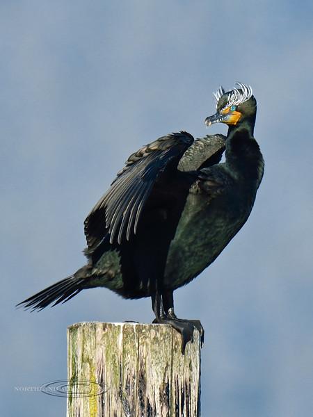 Cormorant, Double-crested 2014.10.29#1123. Seward Alaska.
