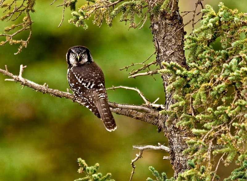 Owl, Northern Hawk 2008.9.19#064. Teklanika river, Denali Park Alaska.