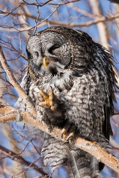 Owl, Great Gray 2012.3.7#056. Anchorage Alaska.