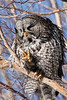 Owl, Great Gray 2012.3.7#056. Anchorage Alaska.