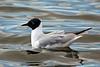 Gull, Bonaparte's 2005.5.4#007. Westchester Lagoon, Anchorage Alaska.