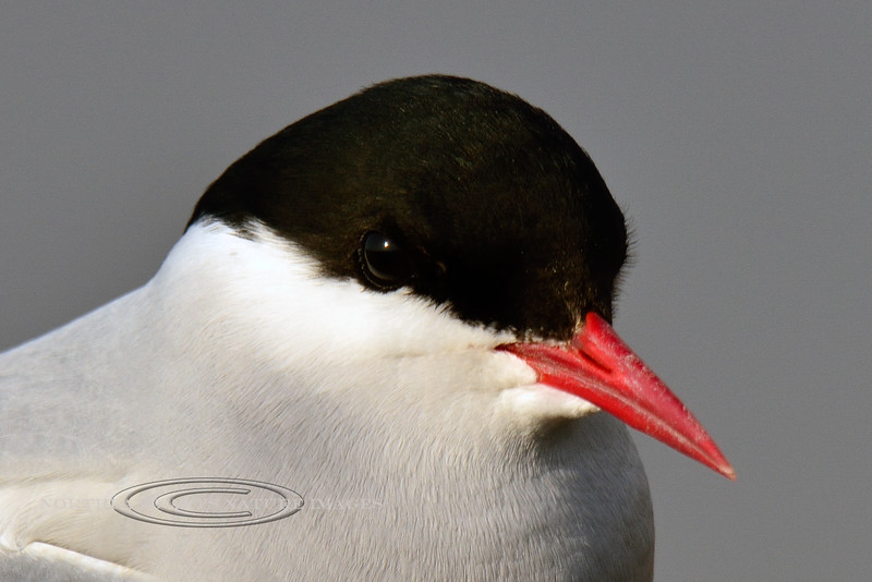 Tern, Arctic 2014.5.7#164. Potter Marsh, Anchorage Alaska.