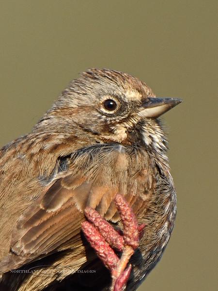 Sparrow, Kenai Song 2014.4.9#271. Seward, Alaska.
