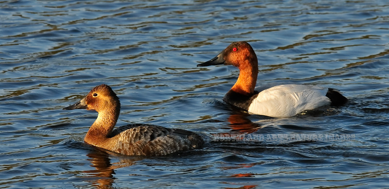Canvasback Ducks 2009.5.11#230. A breeding pair in spring. Potter Marsh, Anchorage Alaska.
