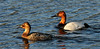 Canvasback Ducks 2009.5.11#230. A breeding pair in spring. Potter Marsh, Anchorage Alaska.