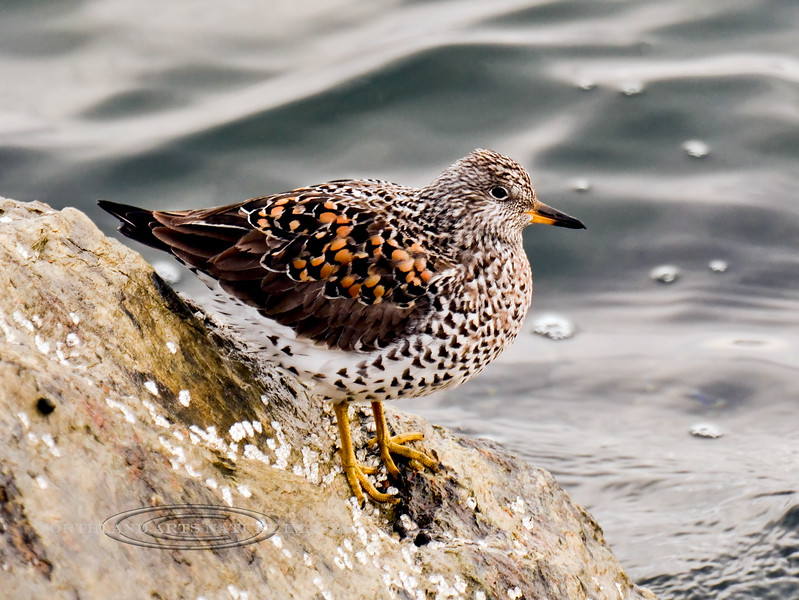 Surfbird 2013.5.14#455. The dark chevrons on the breast of this Surfbird in spring color are a distinctive feature. Homer Spit, Alaska.