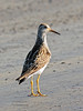 Sandpiper, Stilt. North Slope, Alaska. #712.067. 3x4 ratio format.